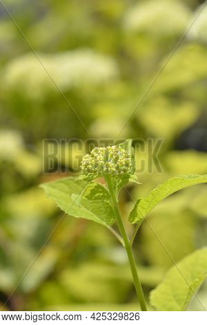 Smooth Hydrangea Annabelle Flower Buds - Latin Name - Hydrangea Arborescens Annabelle