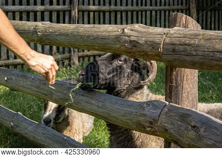 A Visitor Feeding Sheep With Green Leaves Through The Wooden Fence, Opole Village Open-air Museum.