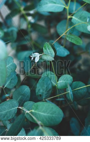 Eucalyptus Blue Leaves Live Growing Bush In Garden. Abstract Eucalyptus Background Copy Space