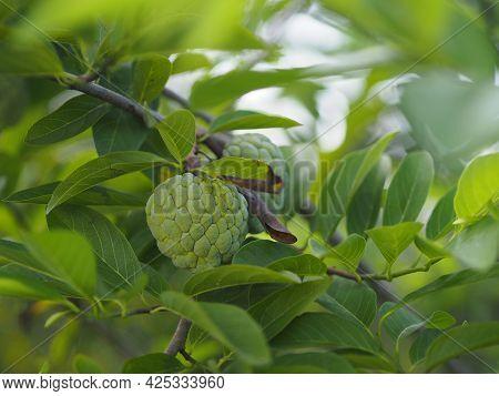 Fruit Custard Apple Tree, Sugar Apple, Sweetsop, Or Anon, Annona Squamosa Plants Annona Squamosa, An