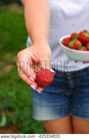 Harvesting Organic Strawberries. Attractive Woman In Denim Shorts Gives You Strawberries On Outstret