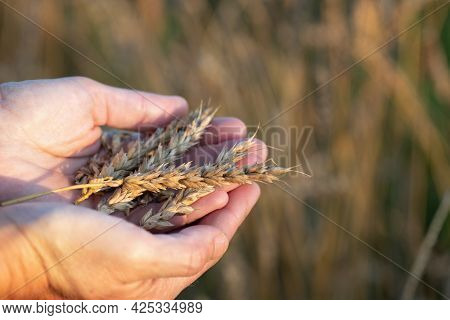 Ripe Wheat Ears Lying In Female Hands With A Wheat Field On The Background In Summer Sunny Sunset