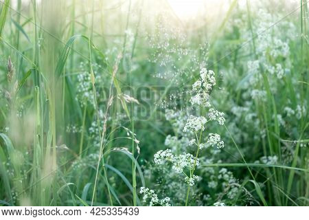 Tiny White Wildflowers Among Green Grass In The Field In Sunlight
