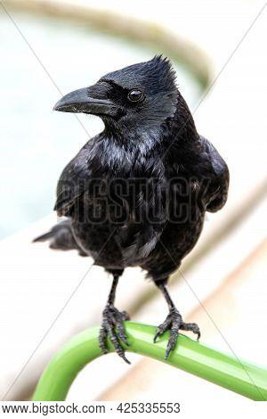 Black Raven Close Up, Bird Watching, Wild Animal