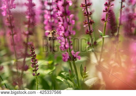 Winged Bee Slowly Flies To The Plant, Collect Nectar For Honey On Private Apiary From Flower