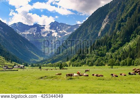 Mountain Pasture In Zillertal Area, Austria With Cows And Mountain Peaks On The Background