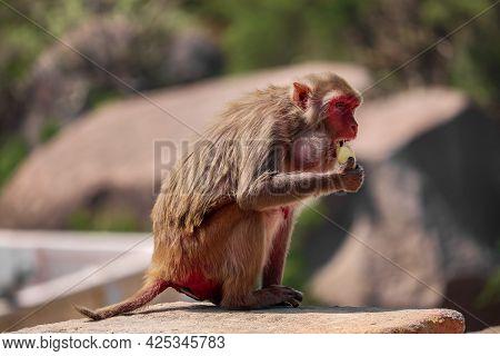 Rhesus Macaque Monkey , Monkey Sitting On The Wall , Eating Banana