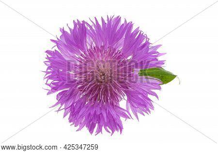 Centaurea   Florescence Flower Isolated On White Background