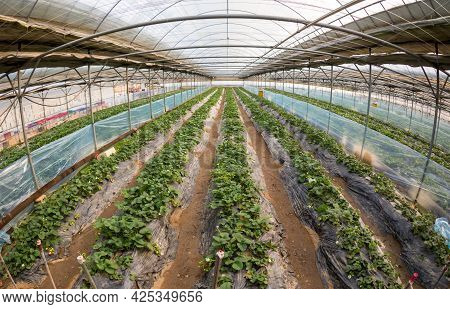 Strawberry Farm In Greenhouses. Organic Agriculture In Greenhouses. Cultivation Of Strawberry Fruits
