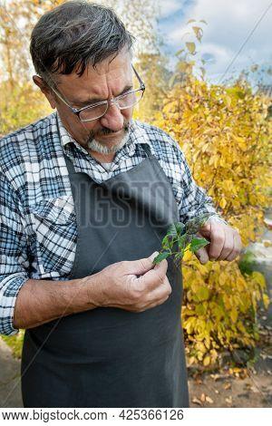 Elderly Gardener Studies The Affected Rose Leaf. The Rose Leaf Is Affected By Fungal Diseases. Brown