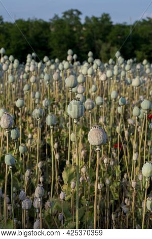 Poppy (papaver Somniferum) Seed Heads In The Summer. The Plant Is Also Known As Breadseed Or Opium P