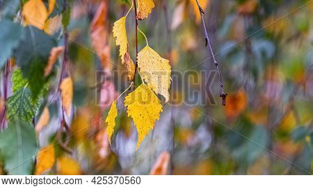 Colorful Autumn Birch Leaves On A Tree. Autumn Background With Birch Leaves
