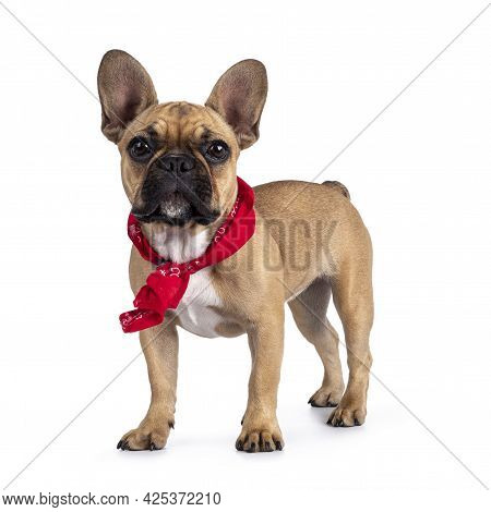 Cute Young Fawn French Bulldog Youngster, Standing Side Ways Wearing Red Farner Scarf Around Neck. L
