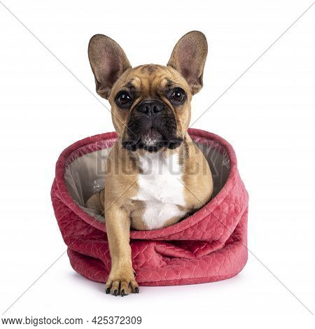 Cute Young Fawn French Bulldog Youngster, Stepping Out Of Pink Velvet Basket. Looking Towards Camera