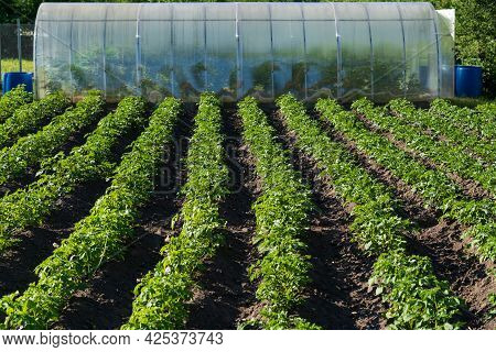 Rows Of Potatoes In A Small Field. Plants Are Arranged In Rows. In The Background There Is A Transpa