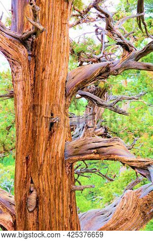 Smooth Bark On An Old Growth Cedar Tree With Sprawling Branches Taken At A Temperate Coniferous Fore
