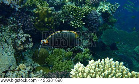 Elegant Unicornfish, Indian Orange-spine Unicorn, Orange-spine Unicorn, Or Smoothheaded Unicornfish