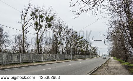 Trees Affected By Mistletoe In The City Grow Along The Road