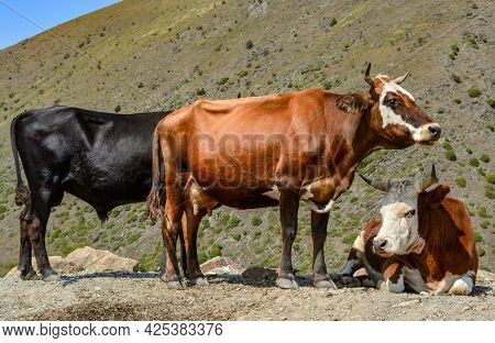 Photo Of Cows In The Background Of The Mountains Grazing In The Mountains With Three Heads In Differ