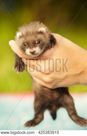 Breeder Checking Healthy Teeth And Mouth Of Ferret Baby