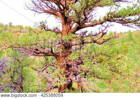 Windswept Cedar Tree With Its Sprawling Branches On A Mountain Ridge Taken At An Alpine Coniferous F