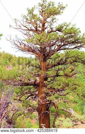 Healthy Old Growth Cedar Tree At An Alpine Conifer Forest Taken In The San Bernardino Mountains Near