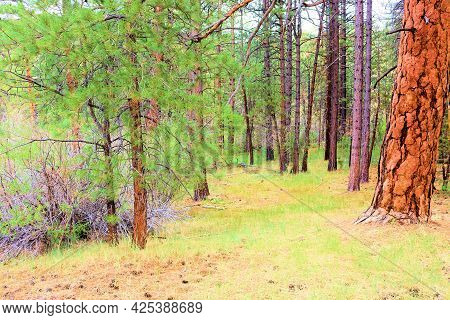 Lush Grassy Alpine Meadow Surrounding Pine Trees Taken At A Temperate Coniferous Forest In The Rural