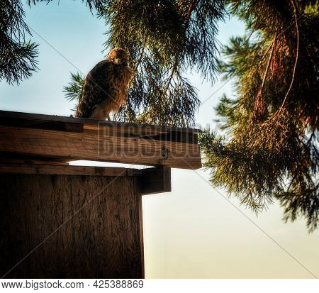 This Is A Photo Of A Juvenile Red Shoulder Hawk Sitting On A Wood Shed.