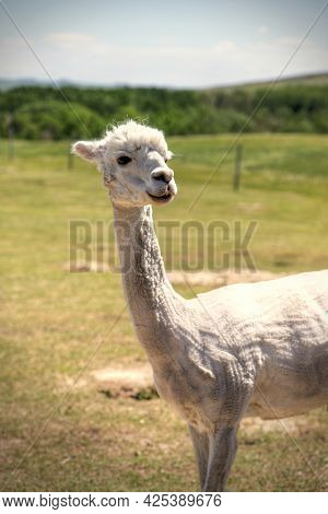Lone Sheared Alpaca In A Meadow. Its Thick Wool Was Shaved To Keep It Cool In The Hot Summer Sun.