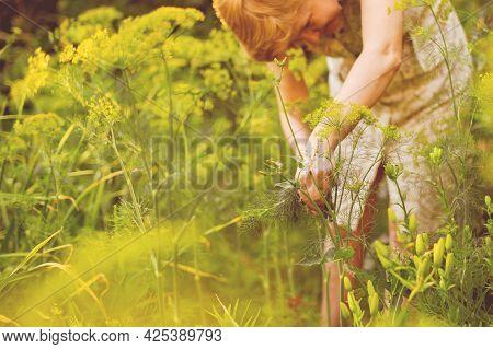 Female Gardener Cut The Herbs In The Gardens