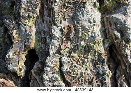 Fir Tree Bark