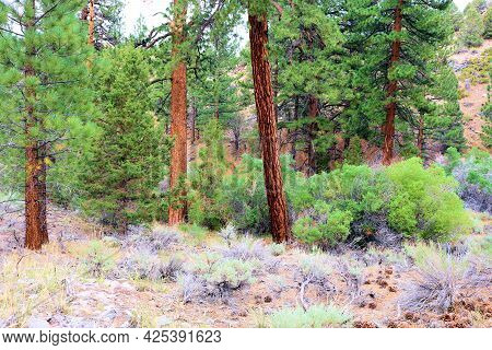 Alpine Meadow Surrounded By A Temperate Pine Forest Taken In The Rural San Bernardino Mountains, Ca
