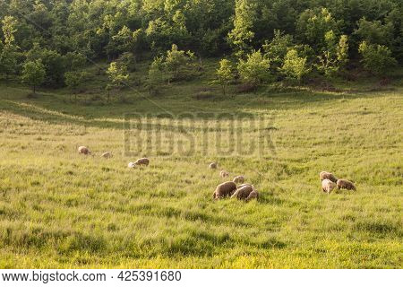 White Sheeps, With Short Wool, Standing And Eating In The Grass Land Of A Pasture In A Serbian Farm.