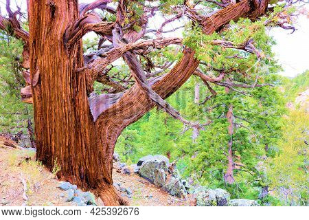 Cedar Tree With Its Twisted Bark And Branches At An Alpine Woodland Taken In The San Bernardino Moun