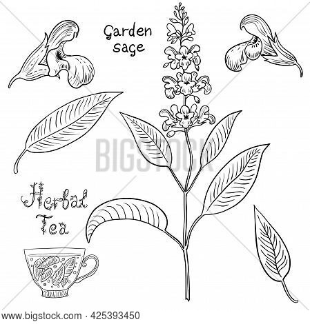 Hand Drawn Set Of Sage Plants And Flowers.
