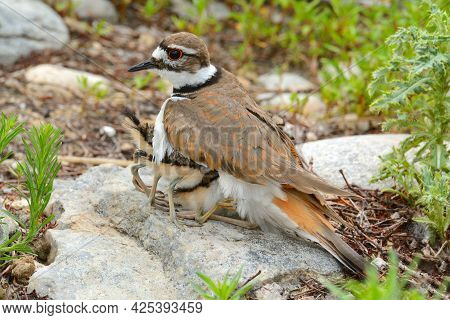 Mother Killdeer Plover Bird With Her Babies Crawling Underneath Her For Warmth As Rain Clouds And Co