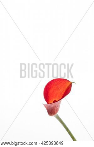 calla isolated on the white