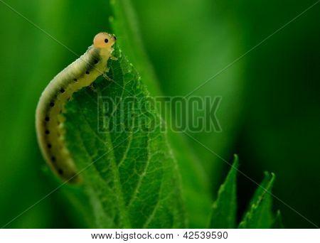 Caterpillar feeding on a leaf