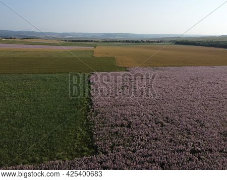 Aerial View. Field Of Clary Sage - Salvia Sclarea In Bloom, Cultivated To Extract The Essential Oil