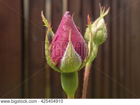 Gentle Beautiful Unblown Flower Bud On Stem With Leaves. Spring Flora.