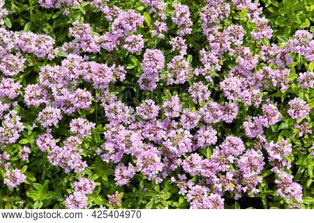 Creeping, Wild Or Breckland Thyme-thymus Serpyllum-blooms In A Thick Carpet Of Tiny Purple Flowers.
