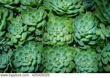 The Rosette Shaped Echeveria Succulents. Background, Selective Focus.