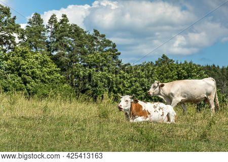 Cows Grazing On A Green Field, Czech Republic. Summer Grazing. Cattle Breeding.