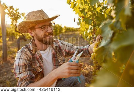 Happy Bearded Adult Male Winemaker With Secateurs Collecting Ripe Grapes In Vineyard During Harvesti