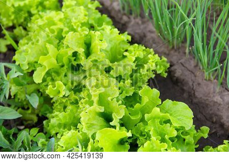 Green Lettuce Grows In The Garden. Harvest. Growing Organic Vegetables. Leek. Close-up. Selective Fo