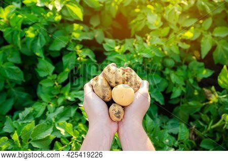 Farmer Holds Freshly Picked Potatoes In The Field. Harvesting, Harvest. Organic Vegetables. Agricult