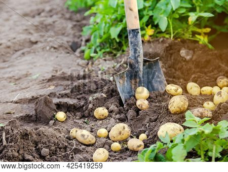 A Fresh Crop Of Potatoes Lies On The Field Near The Shovel Against The Backdrop Of Potato Bushes. Ha