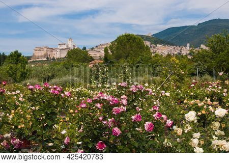 Romantic View Of Assisi From Wonderful Rose Garden In Umbria