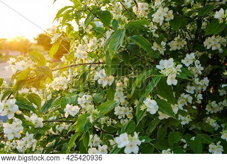 Beautiful Flowering Jasmine Bush In The Rays Of The Sunset. Summer And Spring Bushes, Flowers, Natur