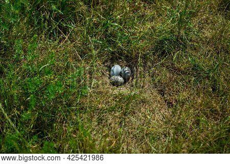 Herring Gull, Larus Argentatus, Nest With Eggs In The Green Grass.